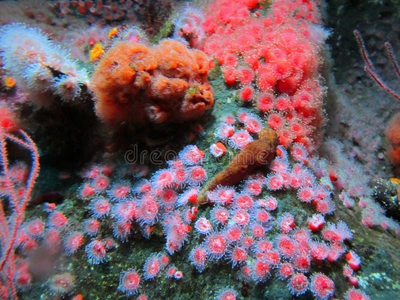 水族馆红色银莲花属, 免版税库存图片