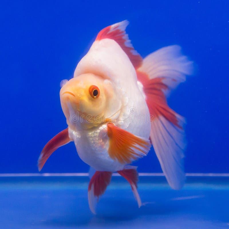 水族馆金鱼说某事想要 免版税图库摄影