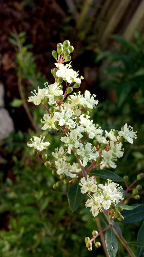无刺指甲花树的小米黄色的芳香花 库存图片