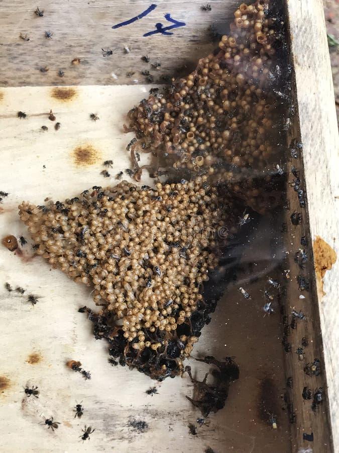 无刺的蜂蜜蜂在农场入蜂巢木箱 免版税图库摄影