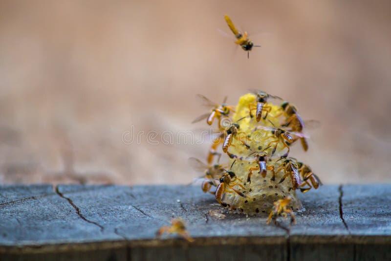 无刺的蜂飞行在巢附近的,在巢孔,棕色背景,Apinae,巴西的无刺的蜂 库存照片