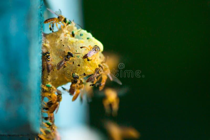 无刺的蜂飞行在巢附近的,在巢孔,绿色背景,Apinae,巴西的无刺的蜂 库存照片