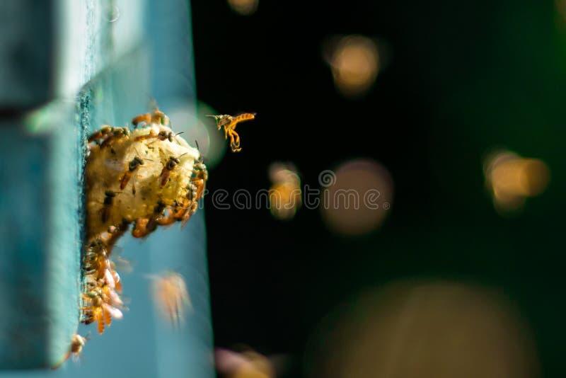 无刺的蜂飞行在巢附近的,在巢孔,绿色背景,Apinae,巴西的无刺的蜂 图库摄影