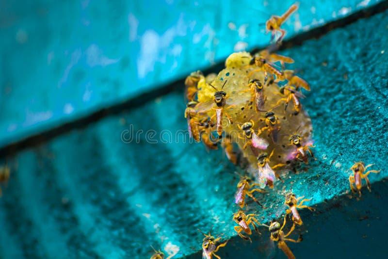 无刺的蜂飞行在巢附近的,在巢孔,蓝色背景的无刺的蜂,Apinae,巴西 库存照片