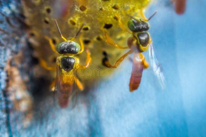 无刺的蜂飞行在巢附近的,在巢孔,蓝色背景,Apinae,巴西的无刺的蜂 图库摄影