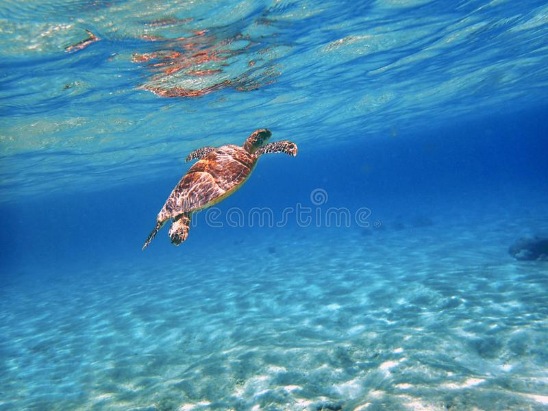 无危险游泳蓝色海洋的海龟 免版税库存照片