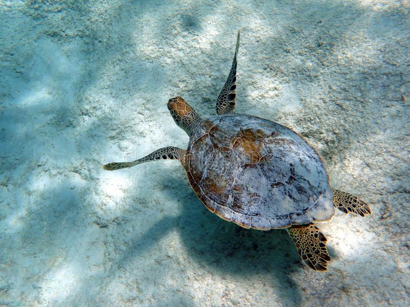 无危险游泳蓝色海洋的海龟 库存图片