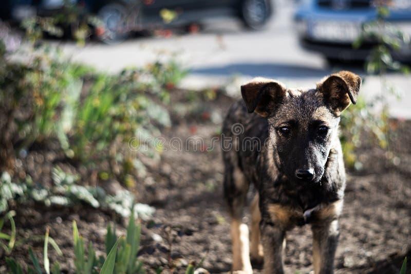 无家可归的幼小棕色狗或小狗看您 库存照片