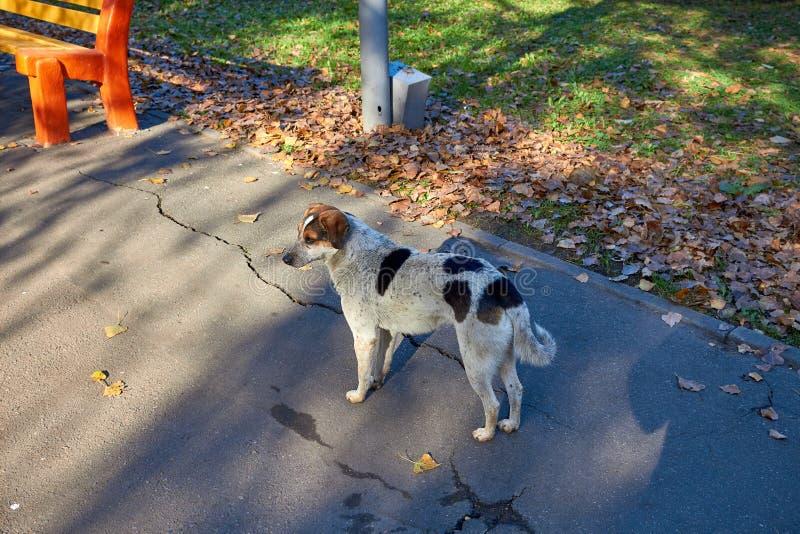 无家可归的狗 无家可归的逗人喜爱的步行在公园 基于草坪的狗 逗人喜爱的小的小狗 狗风雨棚迷路者 免版税图库摄影