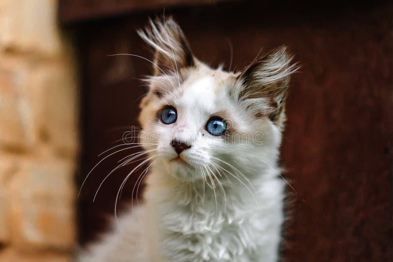 无家可归的肮脏的矮小的白色小猫 与蓝眼睛的一只美丽的猫 图库摄影