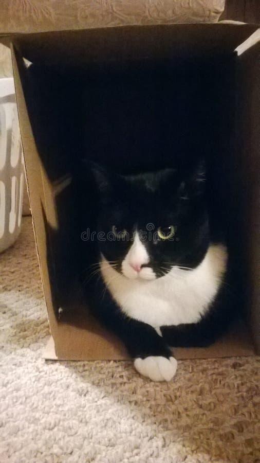 无尾礼服猫在箱子 免版税库存图片