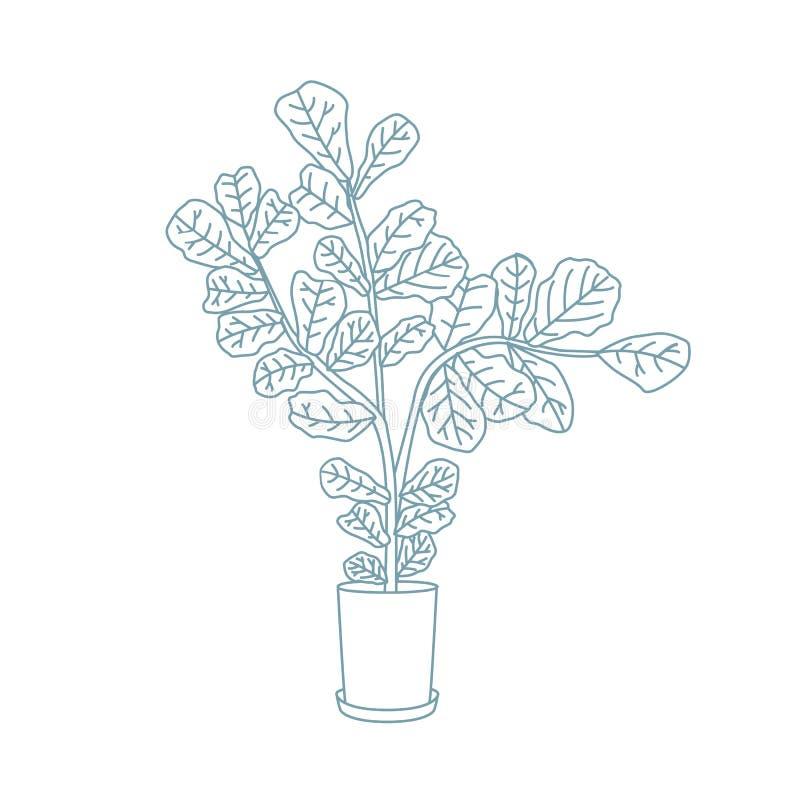 无意识而不停地拨弄叶子无花果或生长在罐的榕属lyrata 装饰室内植物手拉与在白色背景的等高线 皇族释放例证