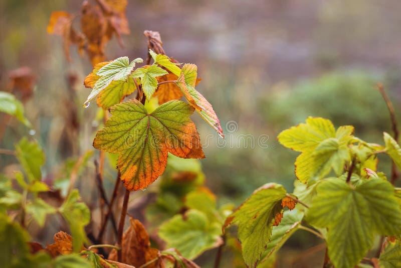 无核小葡萄干分支在秋天与叶子,开始叫喊 免版税图库摄影