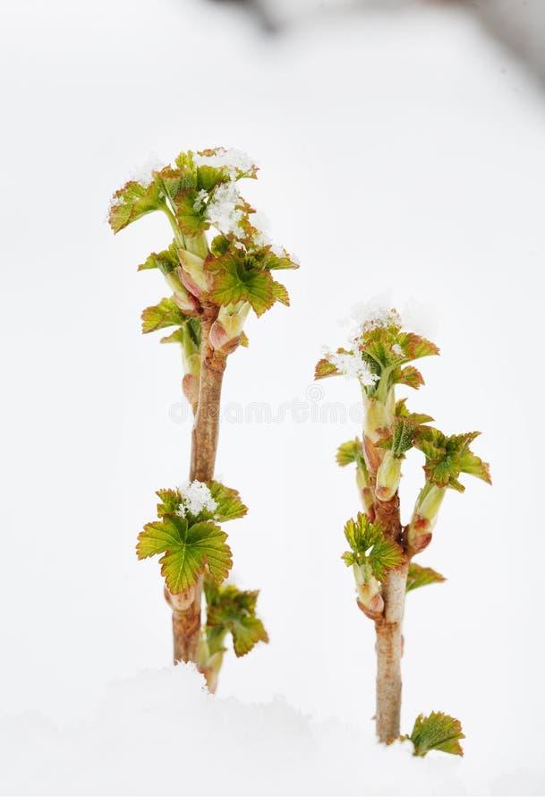 无核小葡萄干新芽在随风飘飞的雪的 库存照片