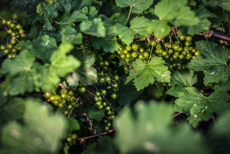 无核小葡萄干绿色未成熟 库存照片