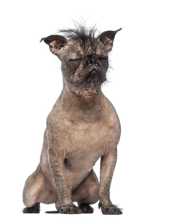 无毛的混杂品种狗,在法国牛头犬和中国有顶饰狗之间的混合,与眼睛关闭了和坐 免版税库存图片