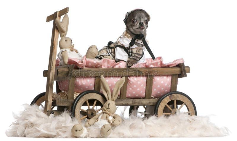 无盖货车的河床奇瓦瓦狗狗穿戴的开&# 免版税库存图片