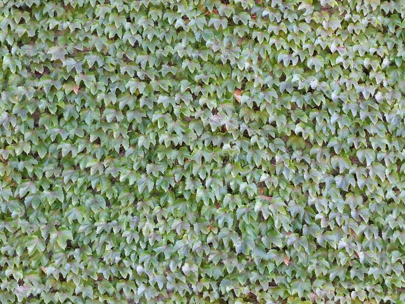 无缝的常春藤墙壁背景瓦片 库存照片