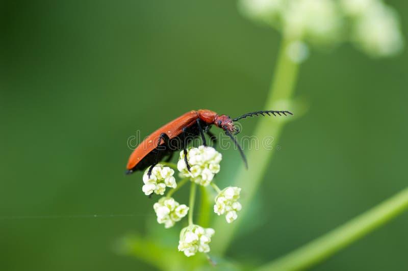 无脊椎画象主教甲虫 免版税库存照片