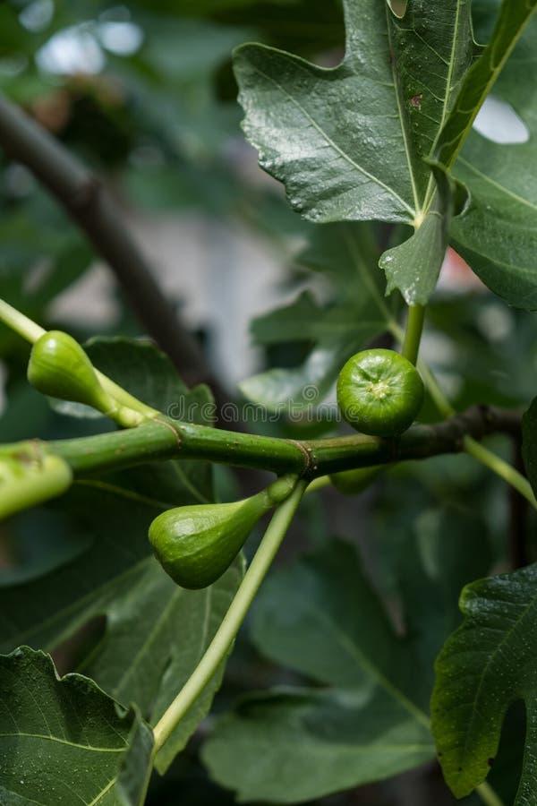 无花果树- Ficus Carica细节  免版税库存图片