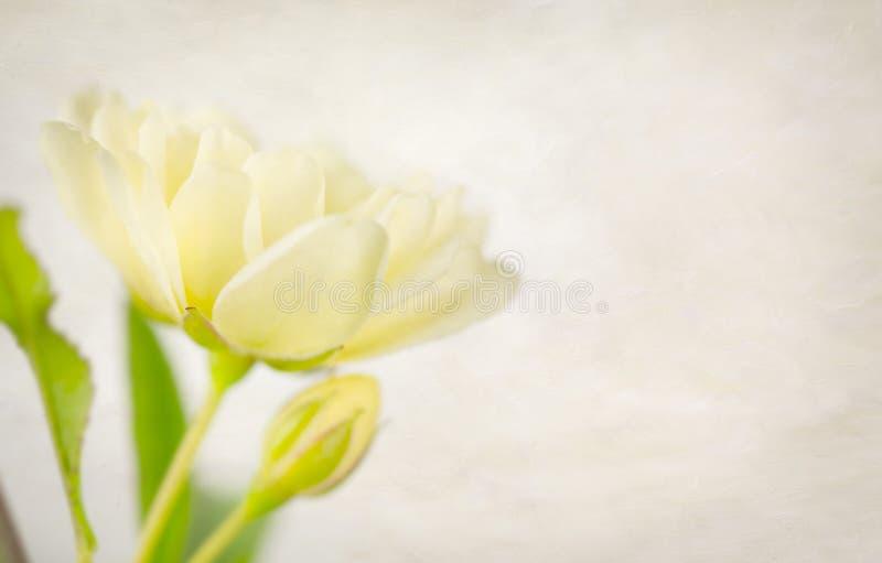 无言黄色玫瑰和芽有纹理的 库存照片