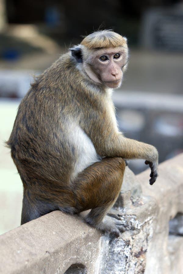 无边女帽短尾猿在斯里兰卡 免版税库存照片