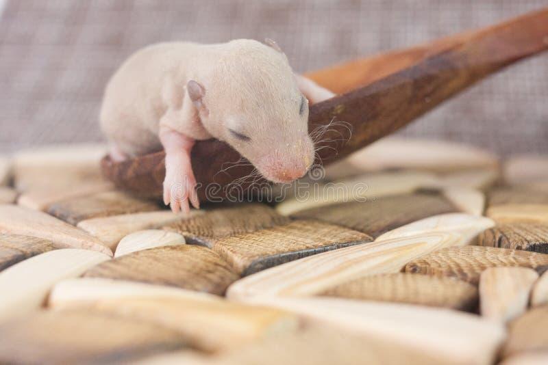 无防备的状态的概念 小的小老鼠关闭 库存图片