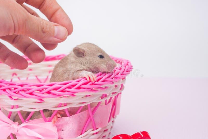 无防备的状态的概念 抚摸一只小老鼠的人 图库摄影