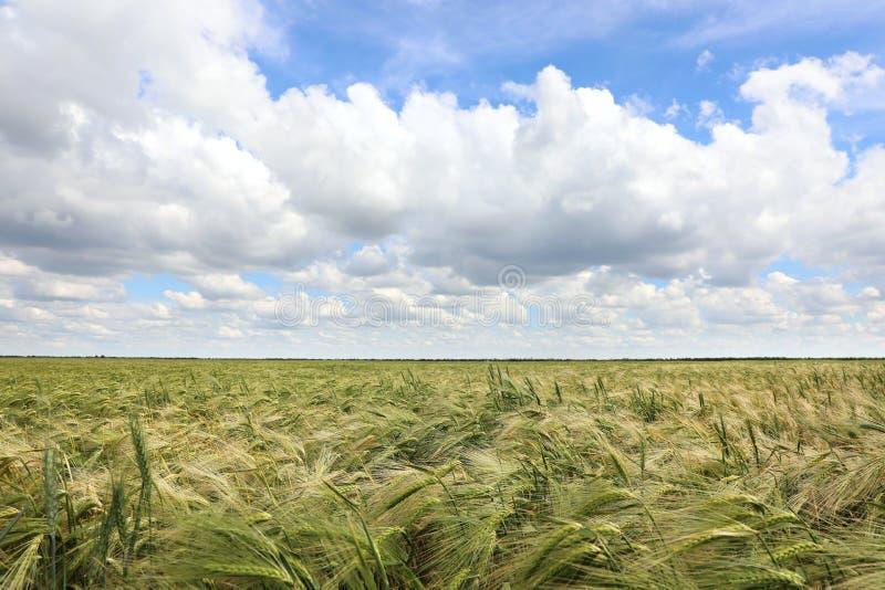 日产成熟谷类作物的农田 免版税图库摄影