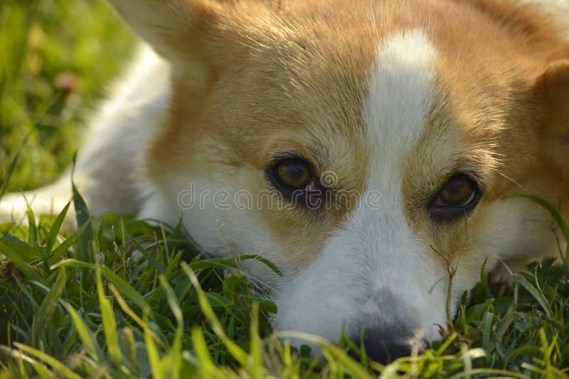 日伤,宠物健康在夏天 小狗在步行的小狗彭布罗克角 如何保护您的狗免受过度加热 T 免版税图库摄影