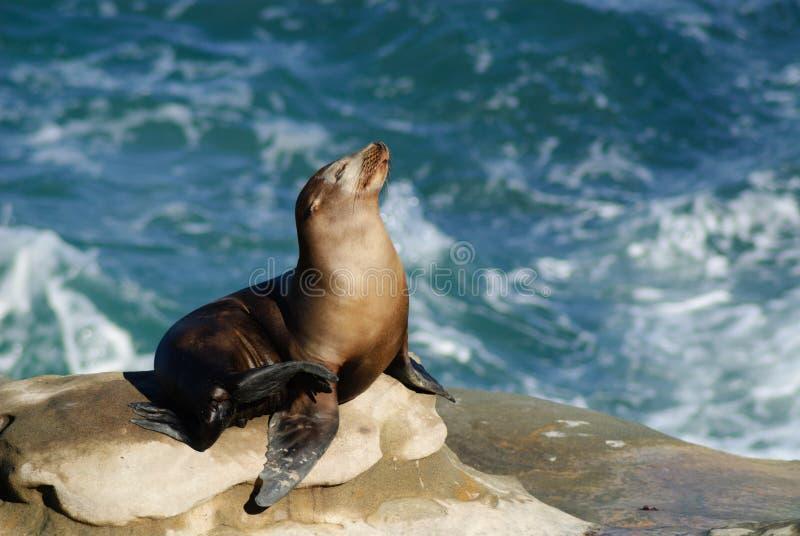 日光浴海狮 图库摄影