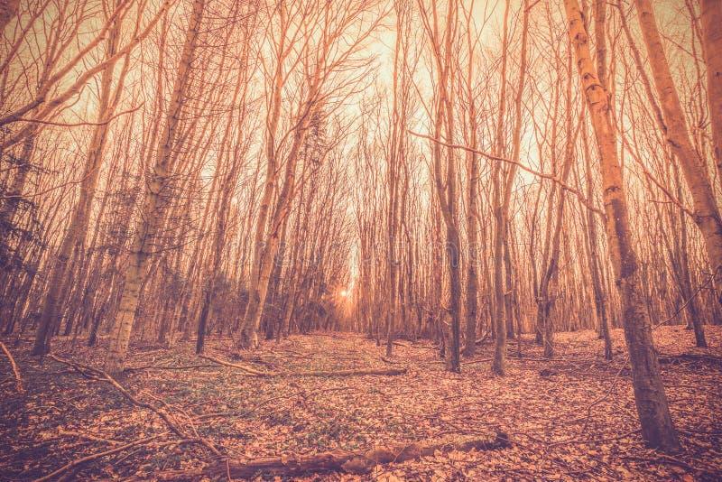 日出在丹麦森林里 免版税库存照片
