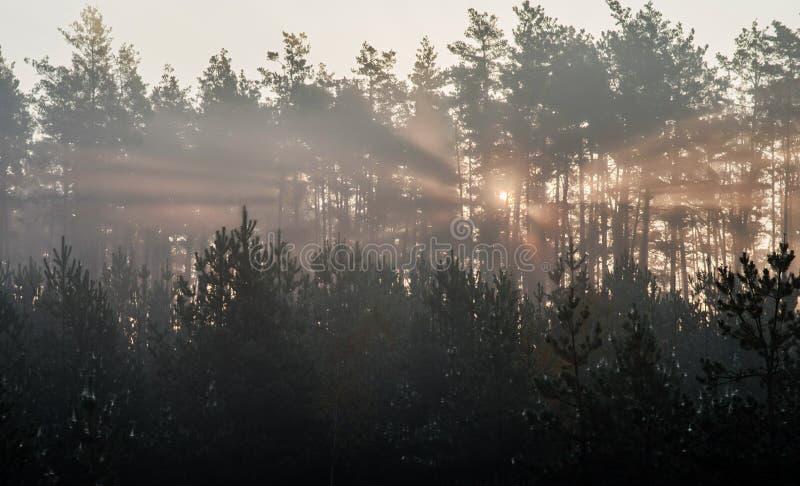 日出在杉木森林里太阳的光芒在早晨亮光的通过树分支在阴霾的 免版税库存照片