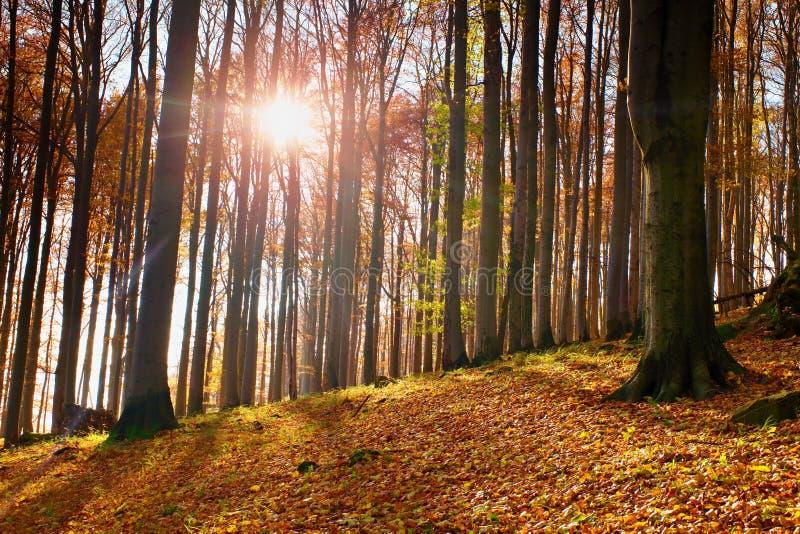 日出在秋天山毛榉和槭树森林 免版税库存照片