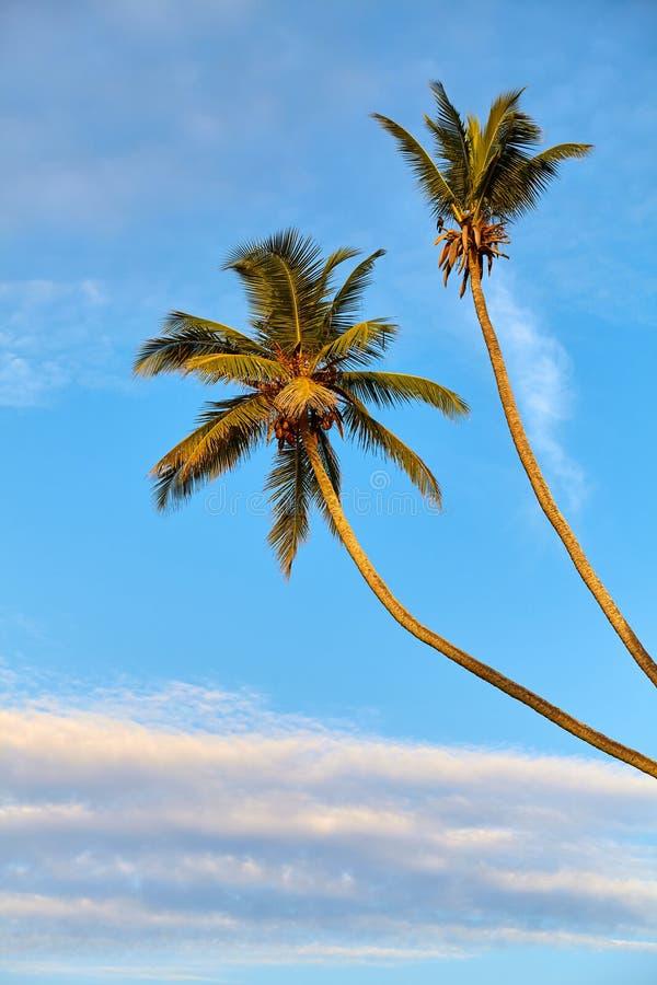 日出时椰子棕榈树与蓝天 免版税图库摄影