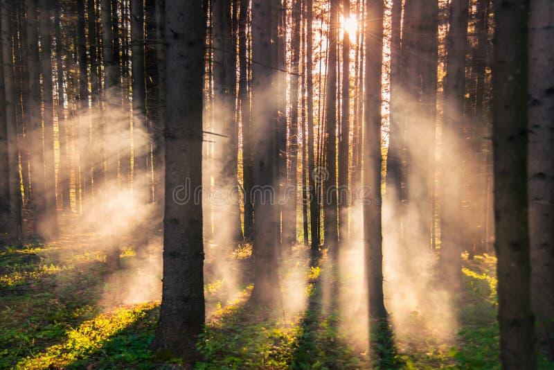 日出的有薄雾的杉木森林 库存图片