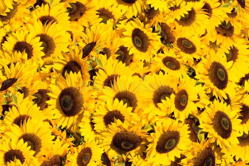 日向日葵晴朗的黄色 库存图片