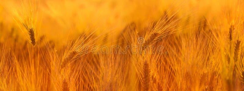 日域热夏天麦子 金黄麦子关闭的耳朵 美好的自然太阳 免版税库存图片
