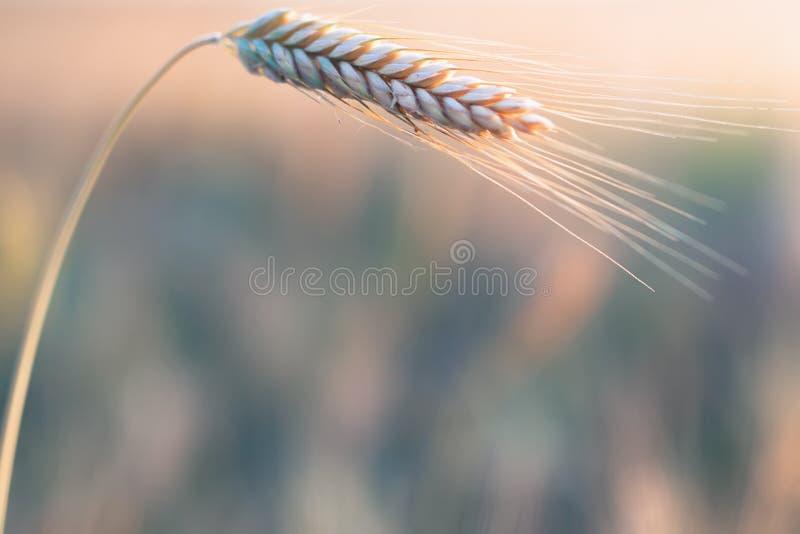 日域热夏天麦子 金黄麦子特写镜头的耳朵 在威严的收获 图库摄影