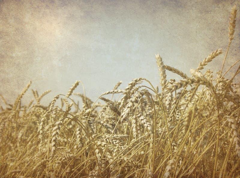 日域热夏天麦子 库存图片