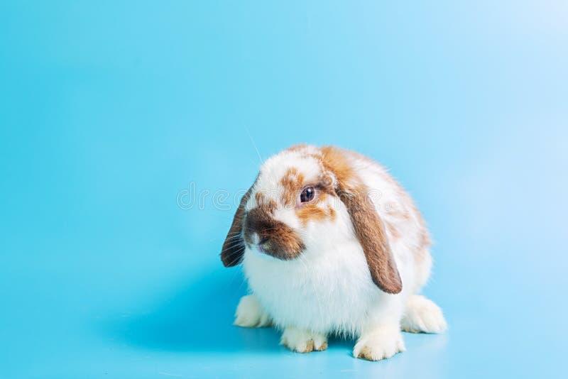 日愉快的复活节 在蓝色背景的花梢兔子 在蓝色背景的逗人喜爱的花梢婴孩兔宝宝 是逗人喜爱和准确的兔子 库存照片