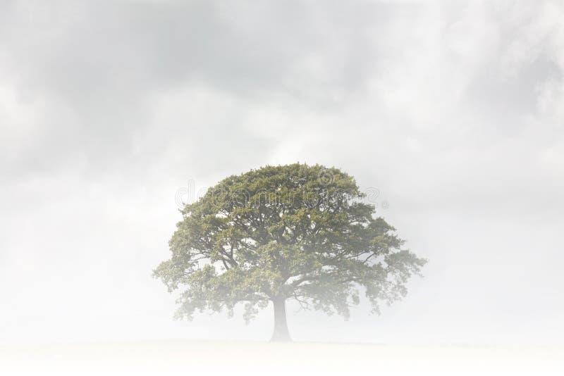 日有雾的橡树 免版税库存照片
