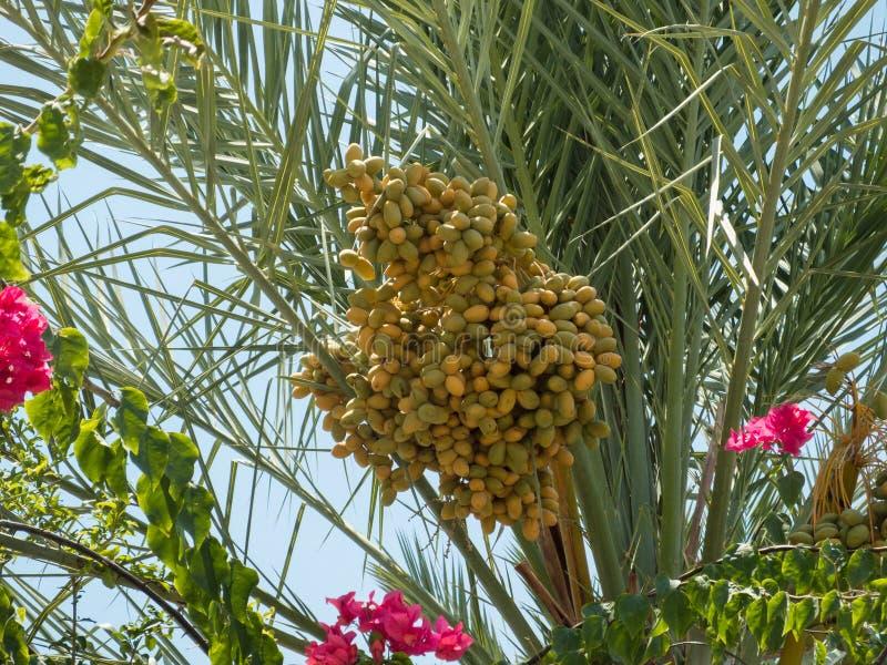 日期,枣椰子果子群 图库摄影