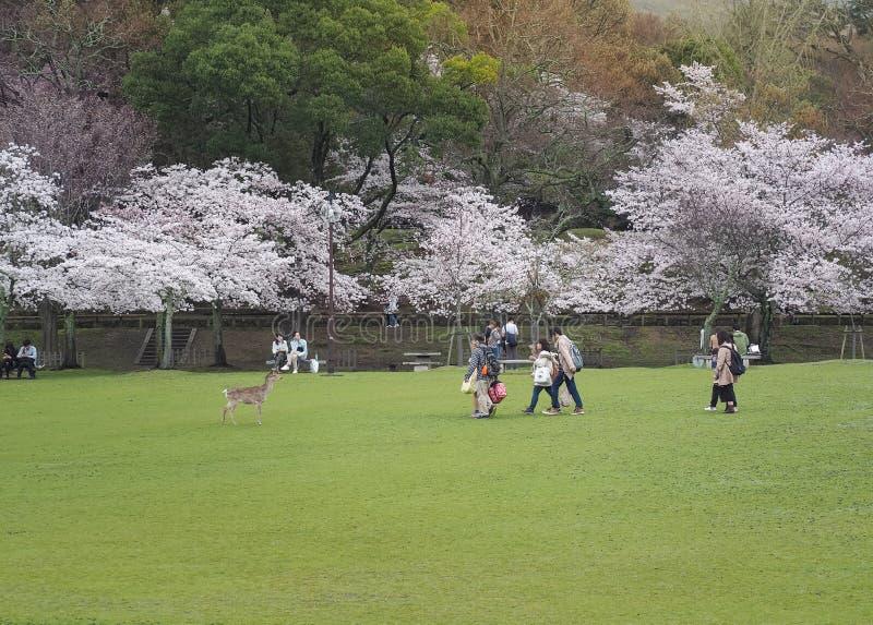 日本享用的樱花节日在公园 库存图片