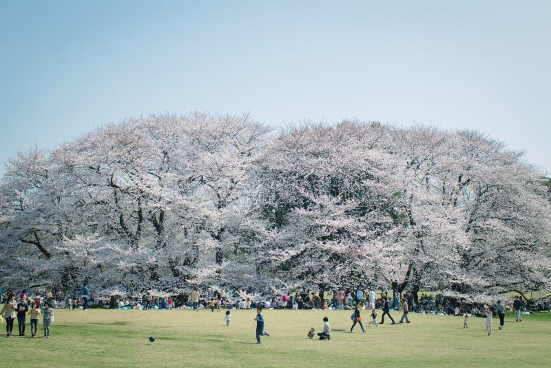 日本人佐仓在盛开的樱花在公园,东京 免版税图库摄影