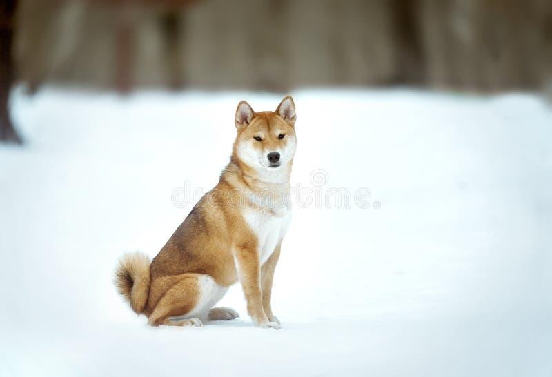 日本人什巴Inu在雪背景的狗画象 免版税库存照片