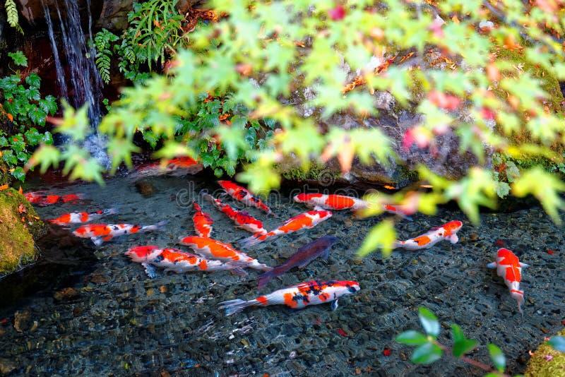 日本人Koi在一棵可爱的池塘&五颜六色的槭树的鲤鱼鱼美丽的景色在一个庭院离开在京都日本 免版税库存照片