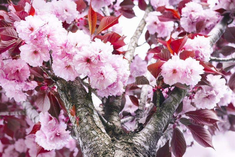 日本佐仓树软的桃红色花,与红色和棕色叶子的分支 库存图片
