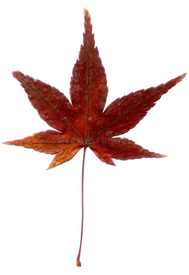 日本叶子槭树 免版税图库摄影