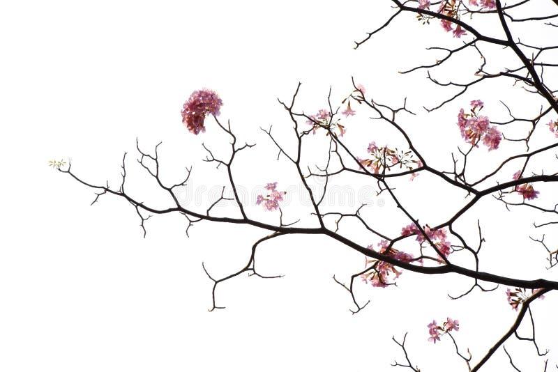 日本在白色背景的桃红色花 免版税库存图片